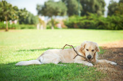 Cute dog with stick Stock Photography