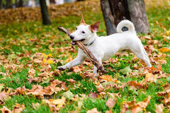 Cute dog with stick playing at autumn park Stock Image