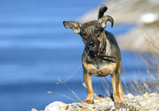 Cute dog. With straw in mouth standing on rocks near sea Royalty Free Stock Photo