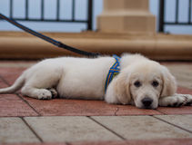 Cute dog on street with leash Royalty Free Stock Image