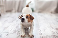Cute dog stretches. At home. Pet at morning. Copy space Stock Image