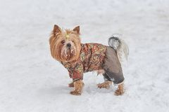 Cute dog in a suit in the snow. For any purpose royalty free stock image