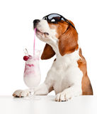 Cute dog in sunglasses drink cocktail Royalty Free Stock Photo