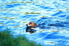 Cute dog swimming Royalty Free Stock Photos