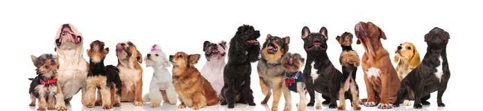 Cute dog team is curious and look up. Cute dog team wearing bowties and collars is curious and look up while standing and sitting on white background Royalty Free Stock Photo