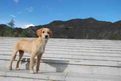 Cute dog in temple Drepung in Tibet Stock Photo
