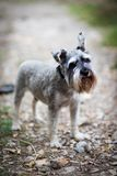 Cute dog terrier walks in the park royalty free stock photo