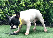 Thirsty dog in the garden royalty free stock image