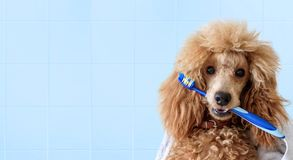 Cute dog with tooth brush on the bathroom. Stock Photos