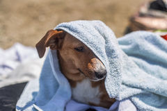 Cute dog with a towel over his muzzle at the beach in summer Stock Photo