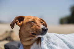 Cute dog with a towel over his muzzle at the beach in summer. Cute little dog with a towel over his muzzle at the beach in summer Royalty Free Stock Images