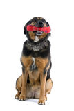 Cute dog with toy. Closeup of cute mixed breed dog with colorful red bone shaped toy in mouth, isolated on white background stock photography