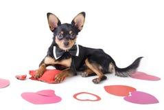 Cute dog toy-terrier Stock Photos