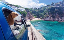 Cute dog travels in car to the sea. Cute dog travels in the blue car to the sea Royalty Free Stock Photos