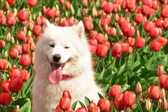 Cute dog in the tulip field. Cute white dog with tongue out in red tulips field Stock Photo