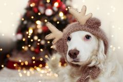 CUTE DOG UNDER CHRISTMAS TREE LIGHTS CELEBRATING HOLIDAYS WEARING A REINDEER ANTLERS HAT.  stock images