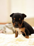 Cute dog. Very cute little black dog Royalty Free Stock Image