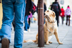 Cute dog waiting patiently for his master Royalty Free Stock Photography
