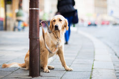 Cute dog waiting patiently for his master Royalty Free Stock Images