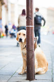 Cute dog waiting patiently for his master Stock Images