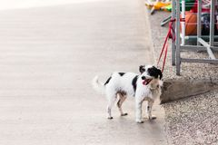 Cute dog waiting patiently Royalty Free Stock Photography