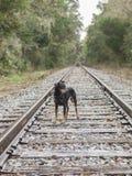 Cute dog walking along railroad tracks. Cute German Pinscher on his way following the train tracks Royalty Free Stock Image