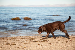 Cute dog walking on the beach Royalty Free Stock Image