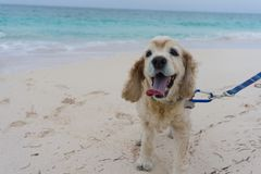 Cocker spaniel walking on pretty beach Stock Image