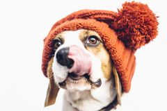 Cute dog in warm orange hat tongue sticking out Royalty Free Stock Images
