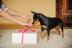 Cute dog watching present box being opened Royalty Free Stock Image