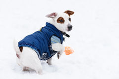 Cute dog wearing blue warm jacket on snow Stock Photo