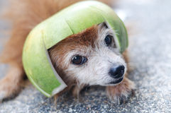 Cute dog wearing pomelo hat Stock Images