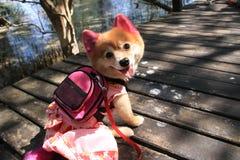 Cute dog wearing a shirt Stock Photo
