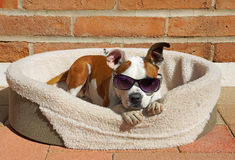 Cute dog wears his sunglasses while he relaxes in the sun Royalty Free Stock Photo