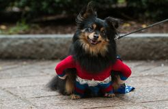 Cute Dog Wears Super Hero Costume At Atlanta Doggy Con. A cute dog wearing a super hero costume has a curious expression at Doggy Con, an event where dogs and royalty free stock photos