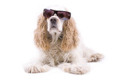 Cute dog on a white background. Wearing sun glasses Royalty Free Stock Photography