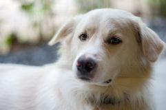 Cute dog. A white dog looking some food Stock Photo