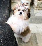 Dog white female cute shin tsu. Cute dog white playing stock image