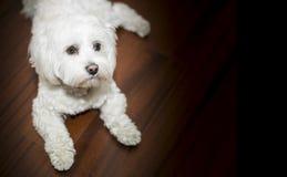 Cute dog. Cute white small  dog Bichon wallpaper Stock Photo