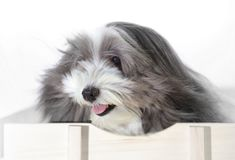 A cute dog with the wind blowing in his face. A long haired black and white dog is riding in a wagon with the wind blowing in his face Stock Image
