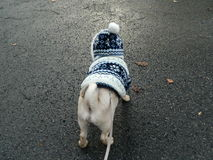 Cute dog in wintercoat looking on the road ahead Royalty Free Stock Photos