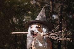 Cute dog in witch hat holding broomstick. Portrait of beautiful stock photos