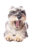 Cute dog yawning Royalty Free Stock Image