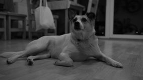 Cute dog yawning while lying on the wooden floor inside the house at night - black and white stock video footage