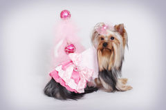 Cute dog Yorkshire Terrier at Christmas Stock Photos