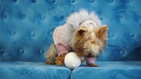 Dog lying on with a Christmas tree toy. Cute dog of the Yorkshire terrier, lies on a blue sofa in dog clothes with fur-tree toys stock footage