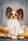 Cute doggie breeds papillon. On a gray background. Postcard Rustic Royalty Free Stock Photography