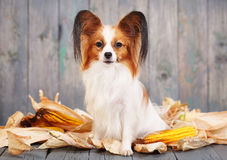 Cute doggie breeds papillon Royalty Free Stock Photography
