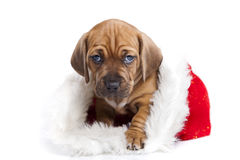 Cute doggy and Christmas decoration. Young cute doggy and Christmas decoration Royalty Free Stock Photo