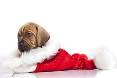 Cute doggy and Christmas decoration Royalty Free Stock Photos